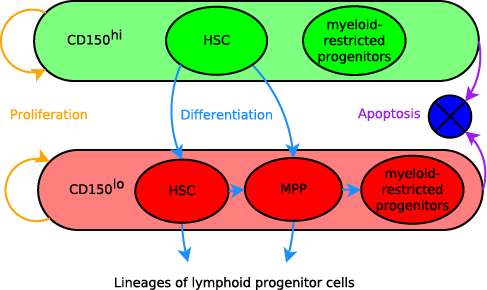 An ODE model for irradiation-induced differentiation across subpopulations of haematopoietic stem cells